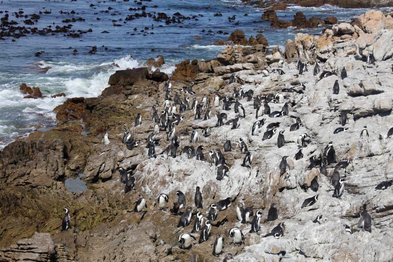 För pingvinSpheniscus för koloni sätter på land sitter den afrikanska demersusen på stenblock nära det Cape Town Sydafrika badet  royaltyfri fotografi