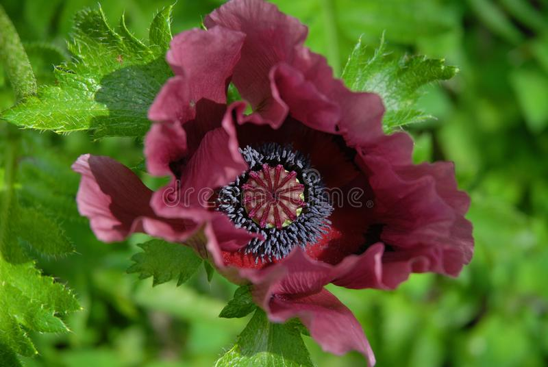 ` För plommon för ` s för liten pastej för Papaverorientale`, royaltyfri foto