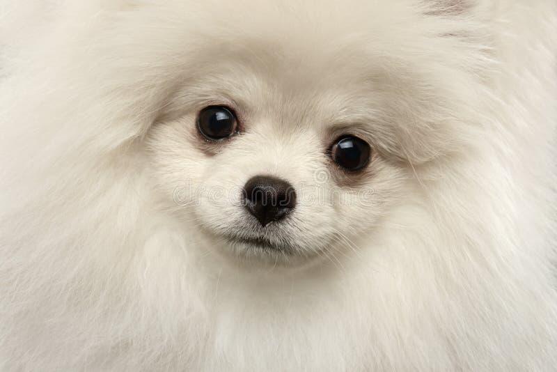 För Pomeranian för Closeup som roligt se för päls- gullig vit hund Spitz isoleras arkivfoton