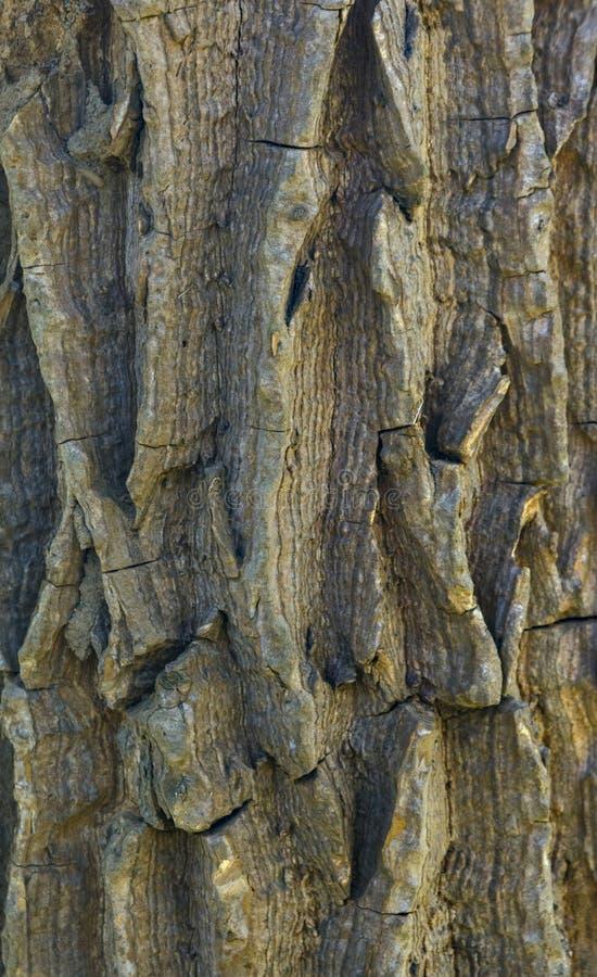 för poplartextur för skäll gammal tree arkivfoto