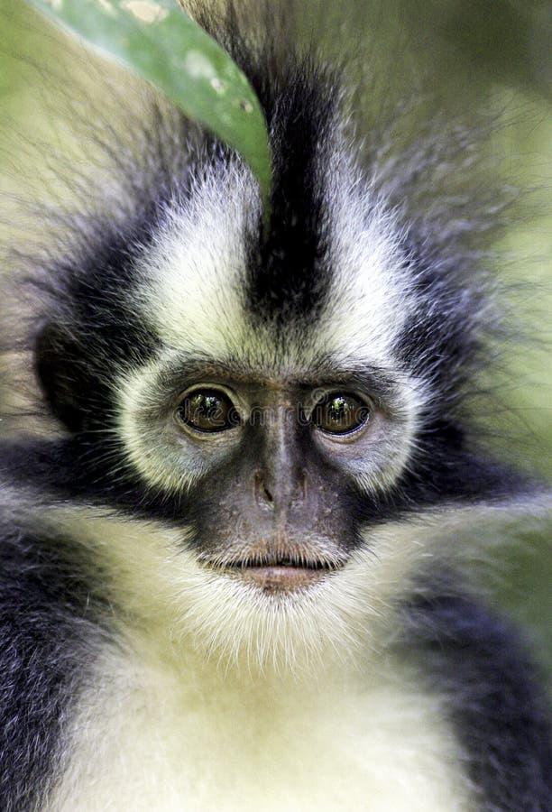 För Presbytis för Langur för Thomas ` s apa thomasi i regnskog royaltyfri foto