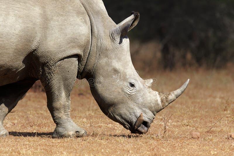 För profilsikt för vit noshörning closeup royaltyfri bild