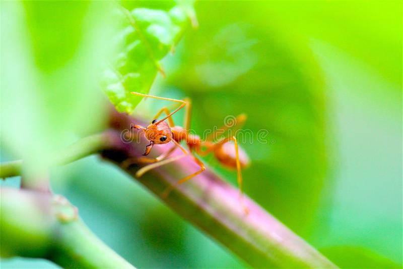 För röd röd myra myraCloseup för Closeup med suddig ljus bakgrund royaltyfri foto