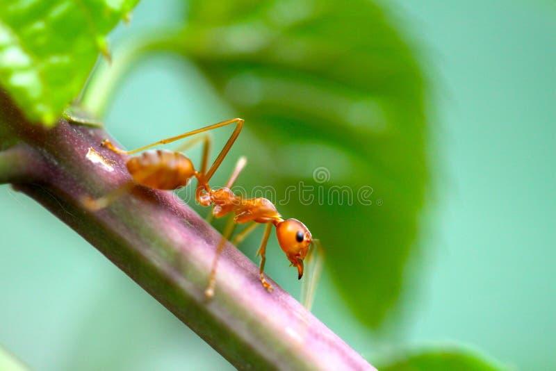 För röd röd myra myraCloseup för Closeup med suddig ljus bakgrund royaltyfria bilder
