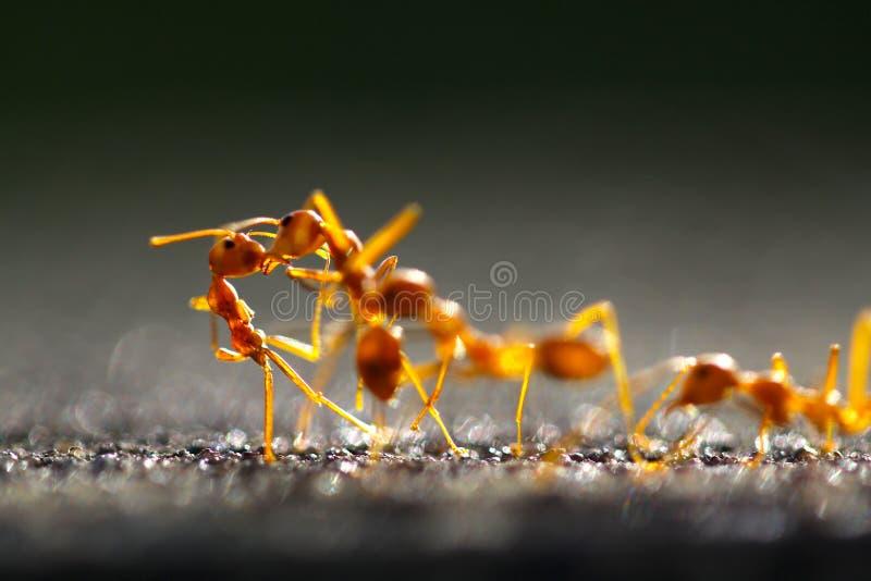 För röd röd myra myraCloseup för Closeup med suddig ljus bakgrund arkivbild