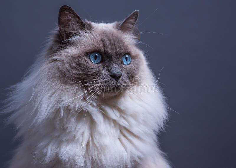 För Ragdoll för blå punkt gäspning katt arkivfoton