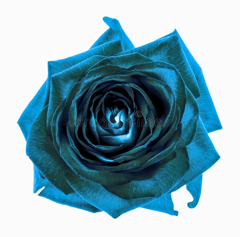 För rosblomma för overklig mörk krom isolerad cyan makro royaltyfria foton