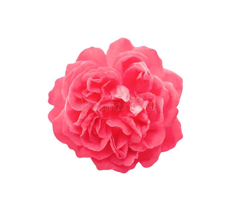 För rosblommor för bästa sikt som färgrikt rött blomma isoleras på vit bakgrund med den snabba banan royaltyfri foto