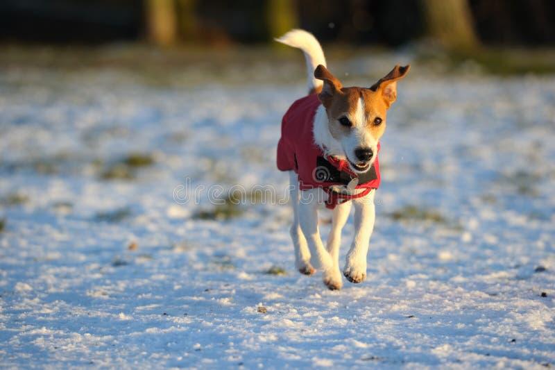 för russell för lagstålar röd running vinter snow arkivbilder