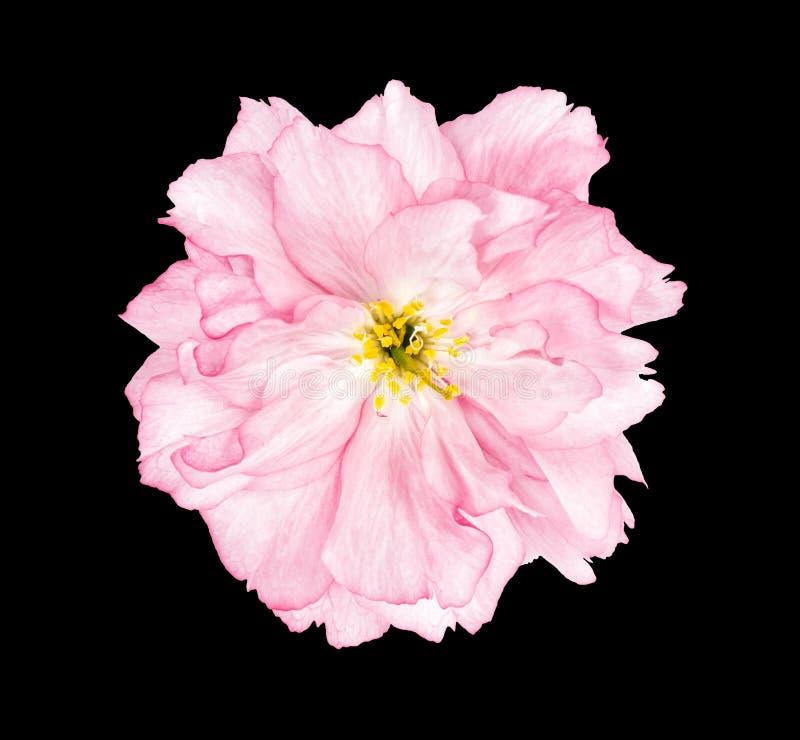 För sakura för körsbärsröd blomning bakgrund för svart blomma arkivfoto