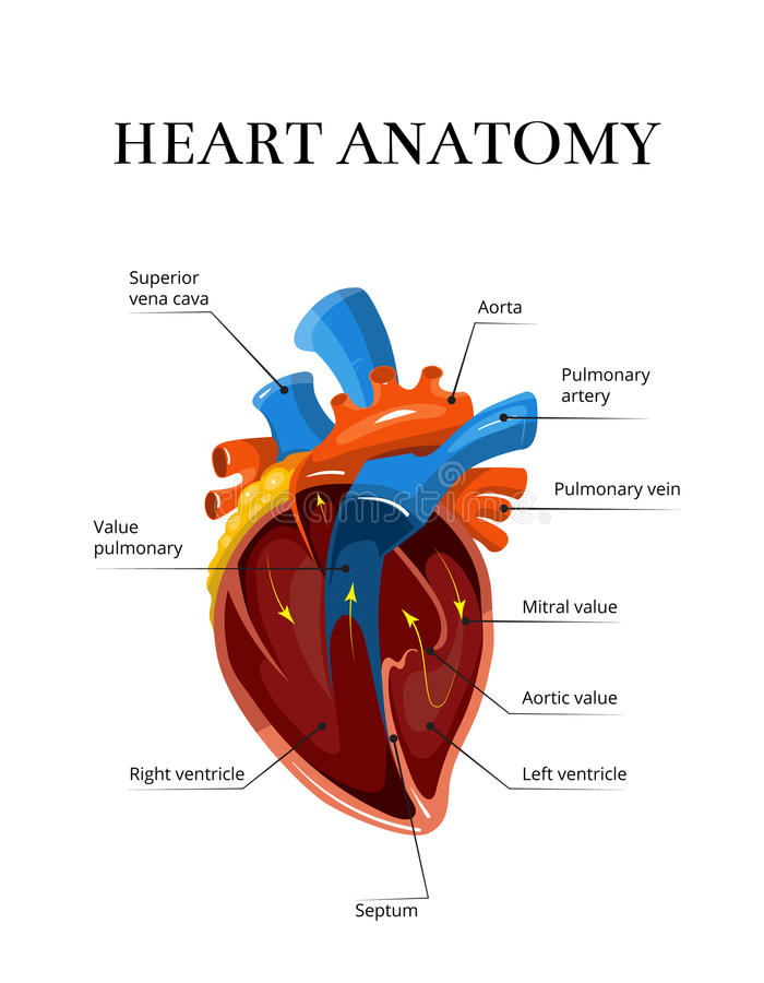 För sektions- cardiological illustration anatomivektor för hjärta royaltyfri illustrationer