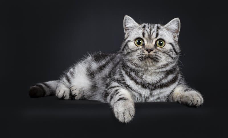 För Shorthair för gullig liten svart silver som flammig brittisk kattunge katt isoleras på svart bakgrund arkivbild