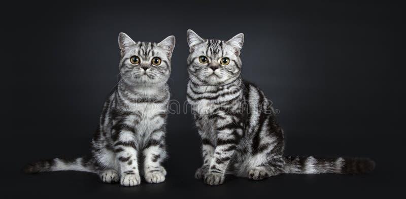 för Shorthair för utmärkt svartsilverstrimmig katt som flammiga brittiska kattungar katt isoleras på svart bakgrund royaltyfri foto