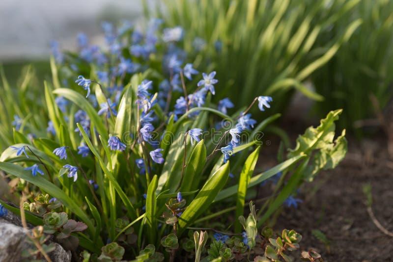 För SiberianScilla Latin Scilla för perenn, örtartad lökformig växt blom siberica i tidig vår royaltyfri fotografi