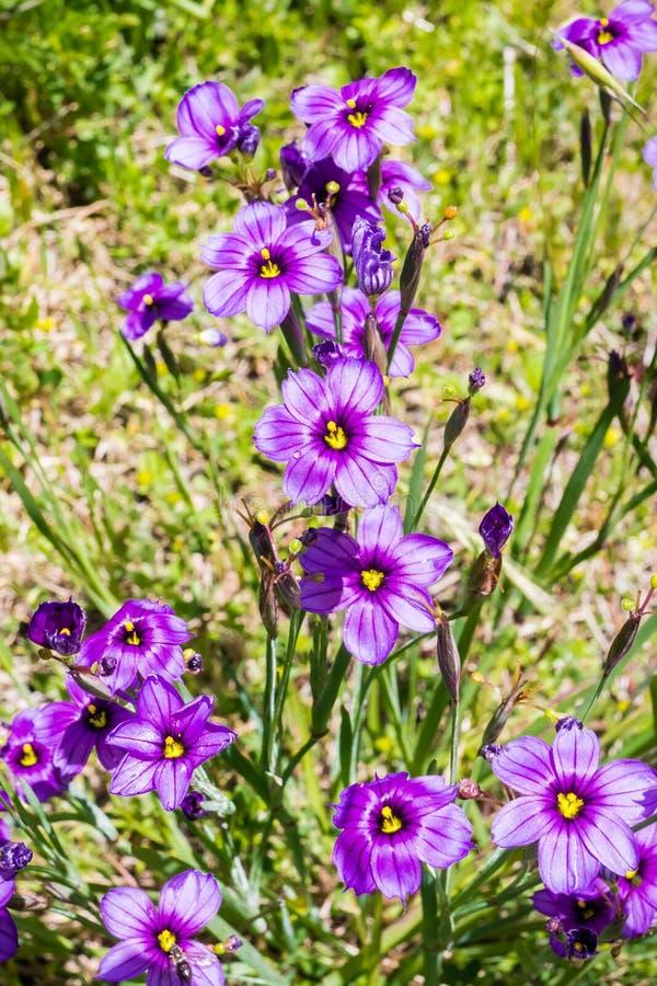 För Sisyrinchiumbellum för blåögt gräs som vildblomma blommar i våren, Kalifornien arkivbild