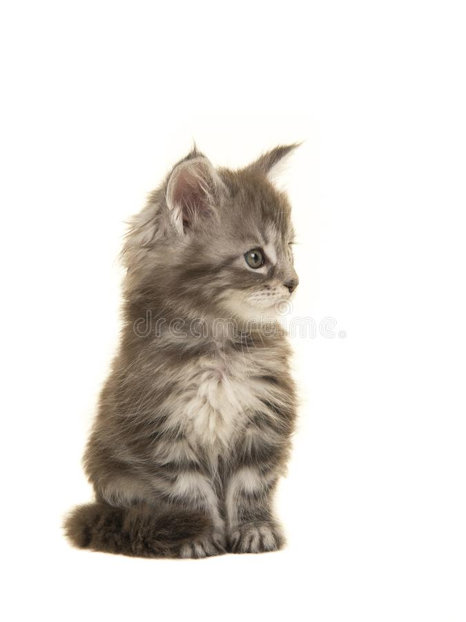 För skogkattunge för gullig strimmig katt som siberian katt ser till rätten royaltyfri bild