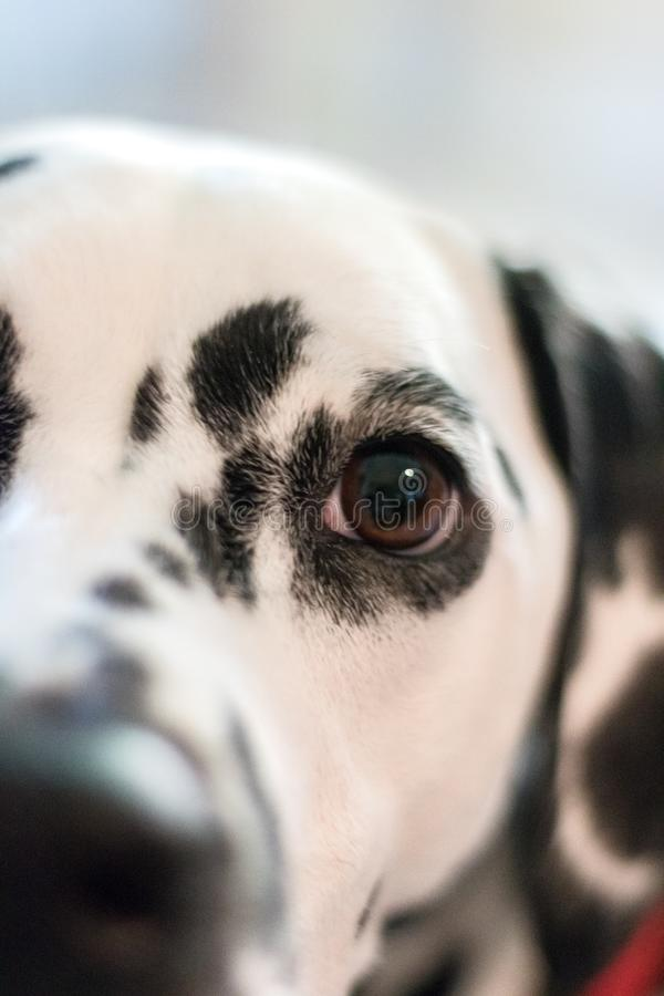 För slut ett skott upp av ett huvud av en Dalmatian arkivfoto