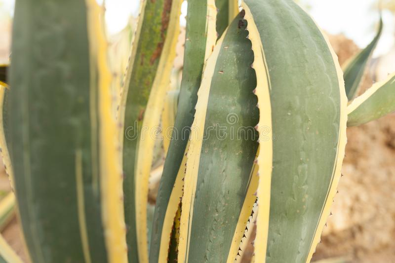 För slut grönt och gult kaktusblad upp royaltyfri foto