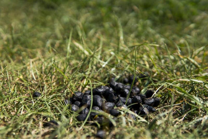 För slut för svartfärg upp avföring för get på en jordning för grönt gräs Naturlig gödningsmedel gödsel Jordbruk Geten sket arkivfoton