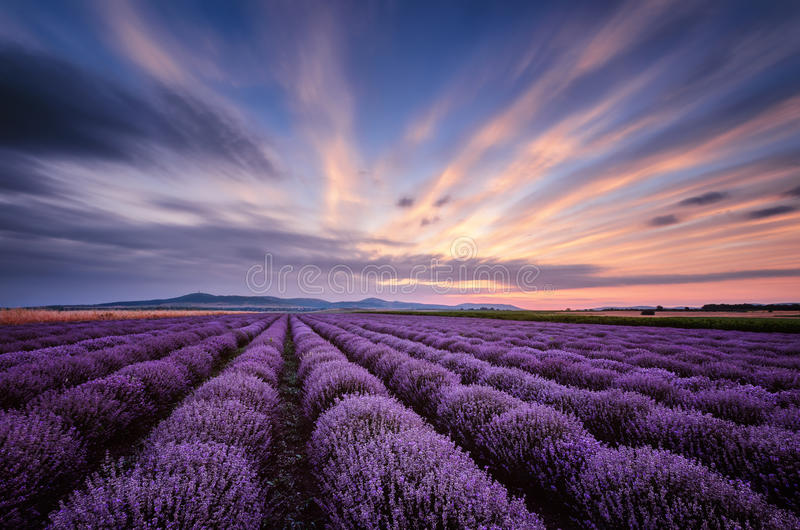 För soluppgång i lavendelfält arkivbilder