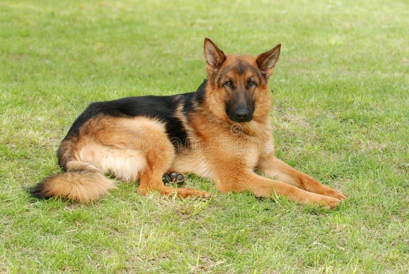 för ståendeshephard för hund tysk herde fotografering för bildbyråer