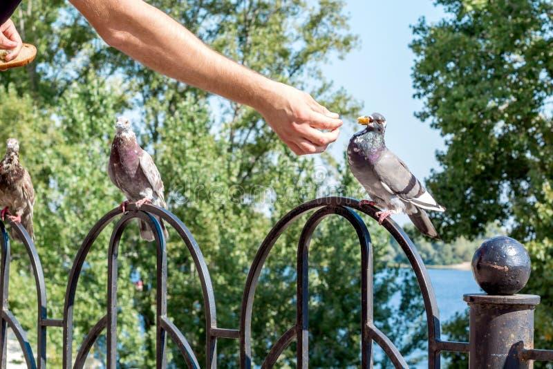 För stadsduvan för mannen parkerar den matande fågeln med armen i utomhus- arkivbilder