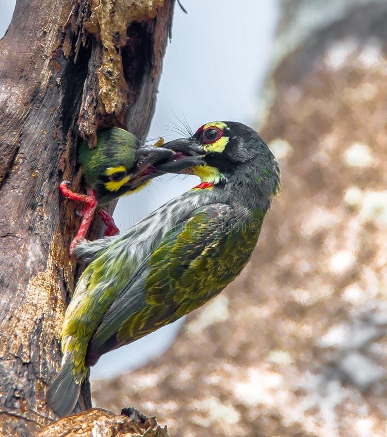 För Statius för kopparslagareBarbet Megalaima haemacephala fågel Muller, fågelmatning arkivbilder