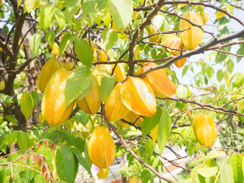 För stjärnaäpple för ny frukt träd royaltyfria foton