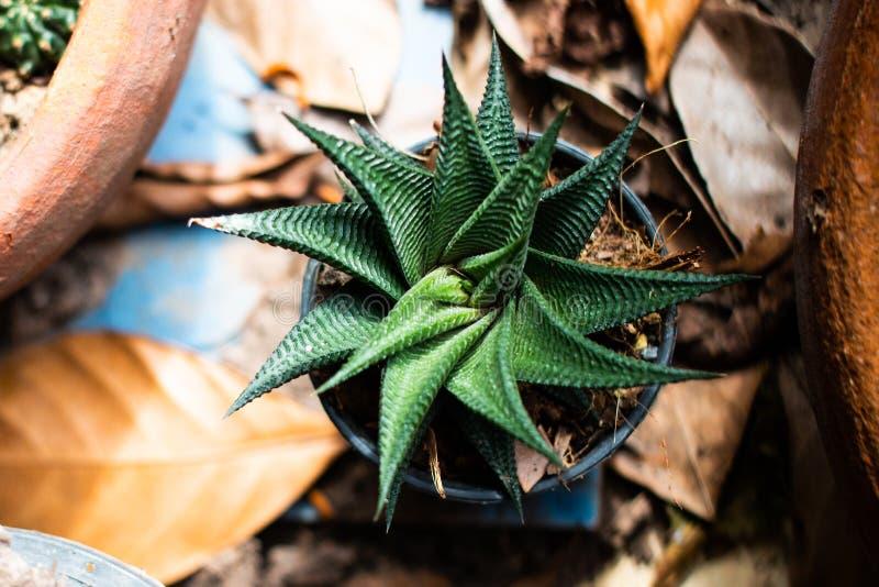 För suckulentkaktus för bästa sikt ny växt med taggiga päron, grön färg av taggträdet i kruka på den naturliga trädgården royaltyfri foto