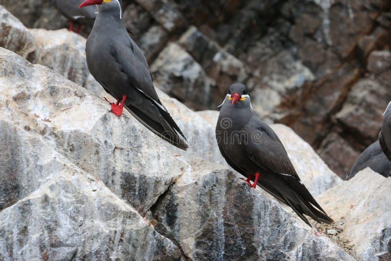 För tärnaLarosterna för två Inca fågel inca på vagga royaltyfri bild