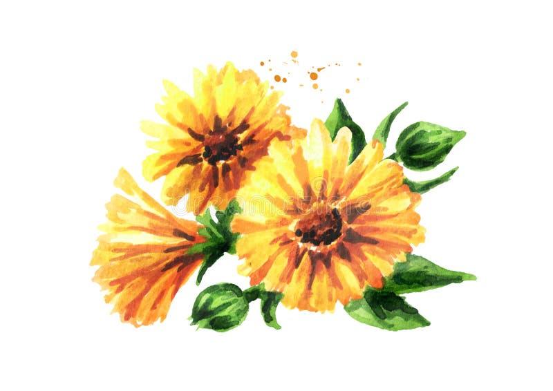 för tät soligt övre dagblomma för calendula Dragen illustration för vattenfärg som hand isoleras på vit bakgrund royaltyfri illustrationer