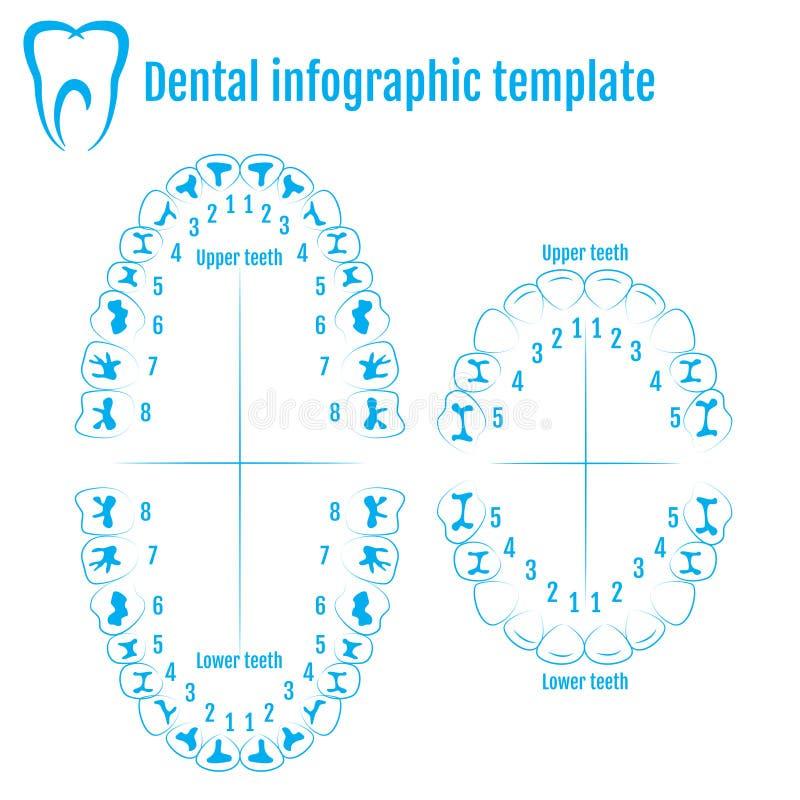 För tandanatomi för Orthodontist mänsklig vektor med att numrera av tänder vektor illustrationer