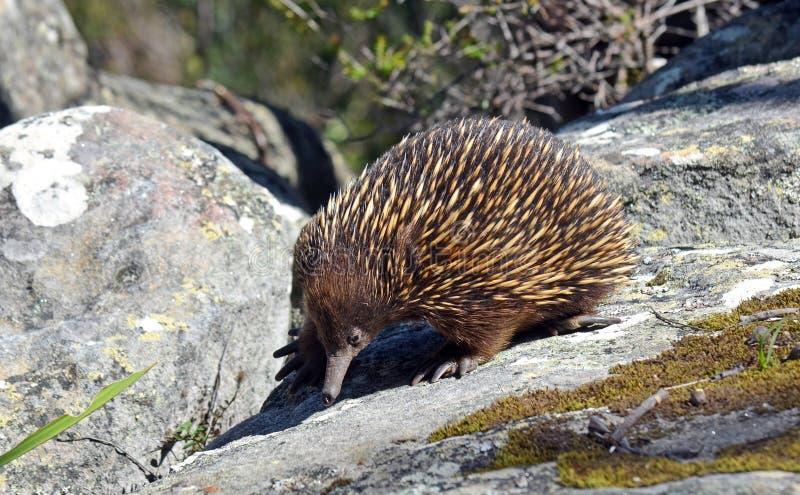 för teckningsechidna för anteater spiny vattenfärg för australiensisk hand fotografering för bildbyråer