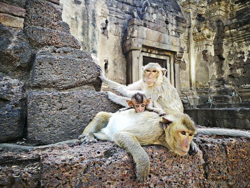 För Thailand för lopburi för Prang sam yodtempel tempel asia apa arkivbilder