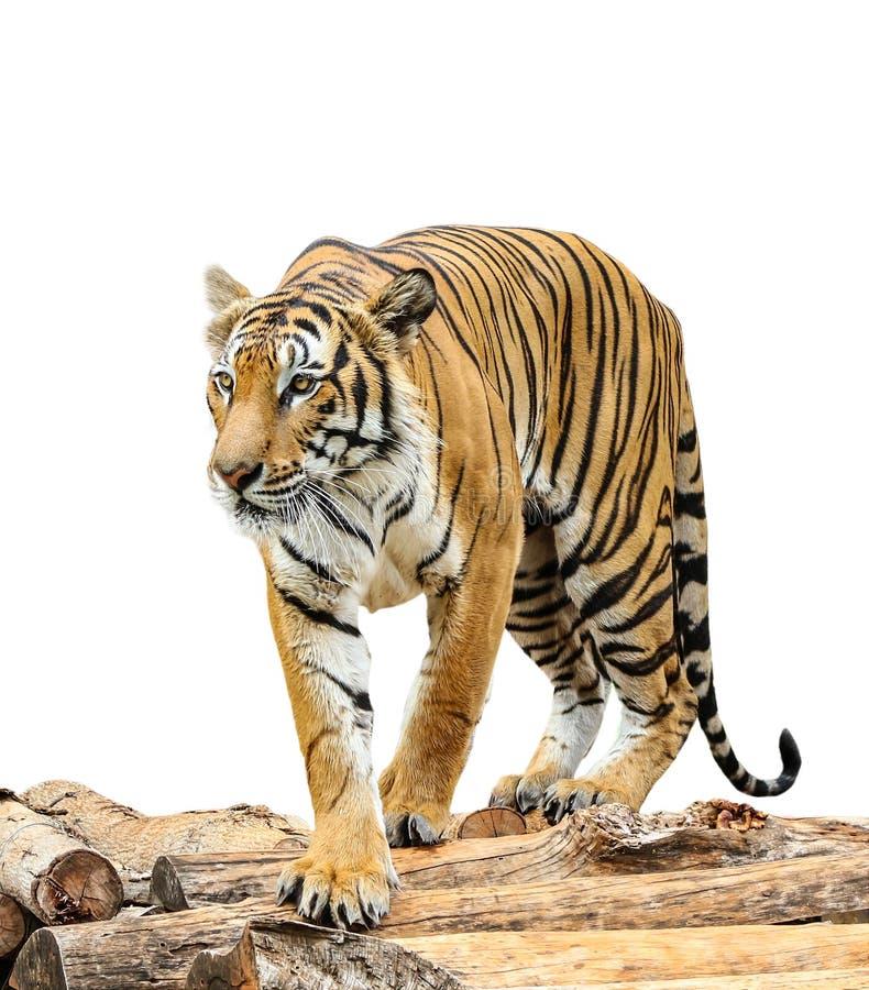 för tigervektor för bakgrund illustration isolerad white arkivfoto