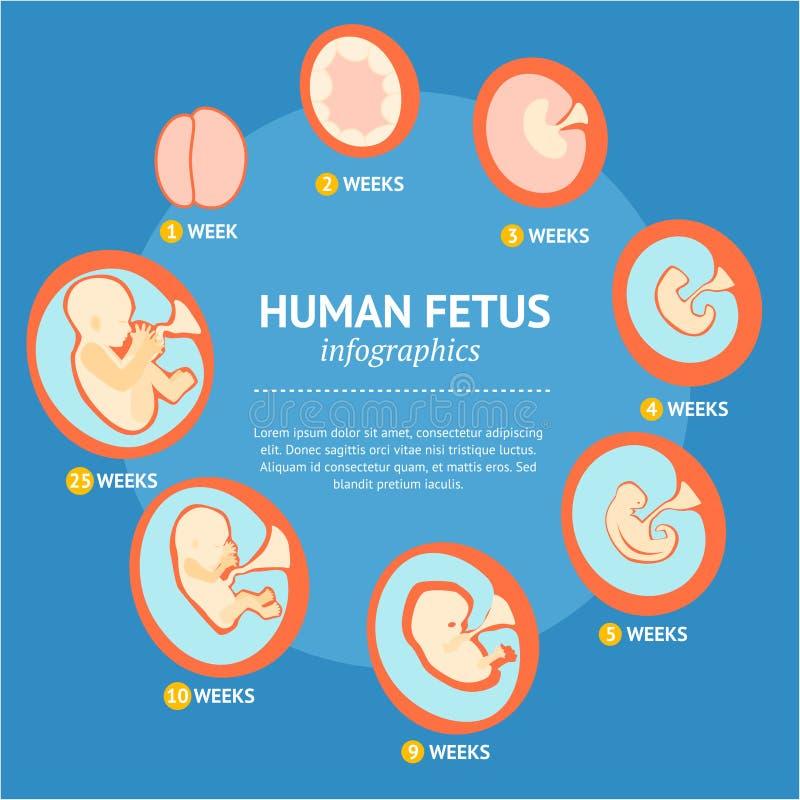 För tillväxtetapp för havandeskap foster- Infographic för utveckling meny vektor vektor illustrationer