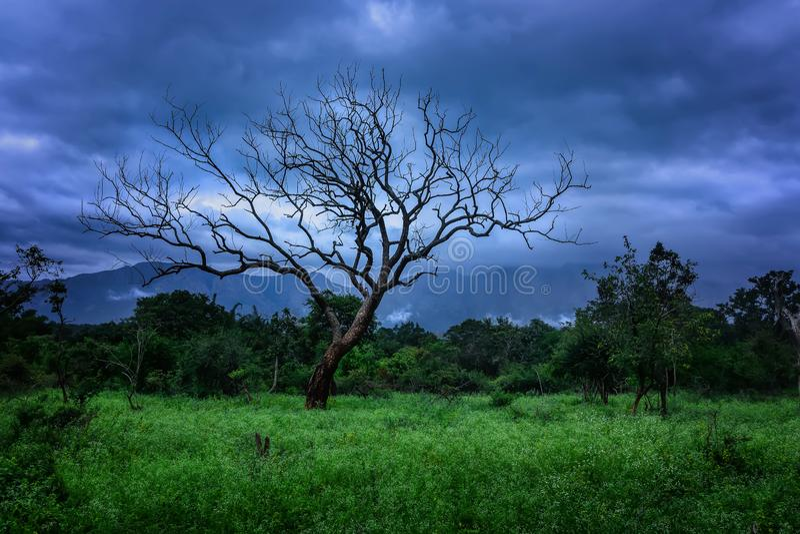 För träd vårtid Masinagudi-Tamilnadu bara arkivfoton