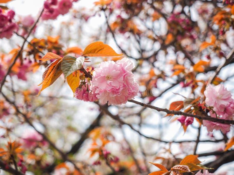 För trädPrunus för körsbärsröd blomning serrulata eller Sakura Flowers ( Kanzan royaltyfri fotografi