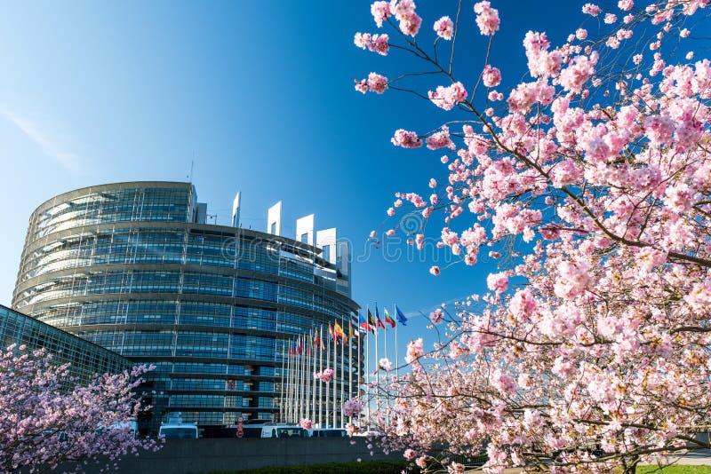 För trädsakura för körsbärsröd blomning Europaparlamentet treee royaltyfria foton