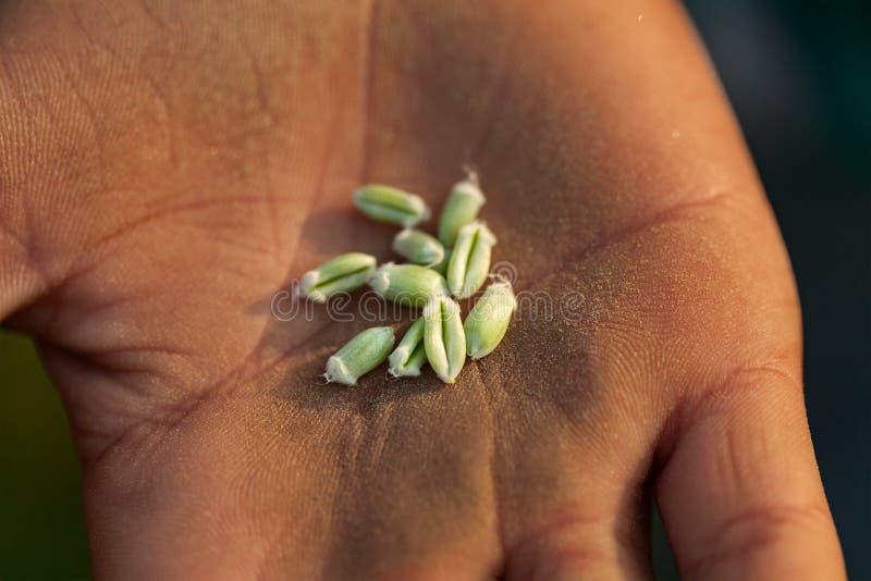 För Triticumaestivum för gemensamt vete gräsplan och nytt på bondehanden arkivbild