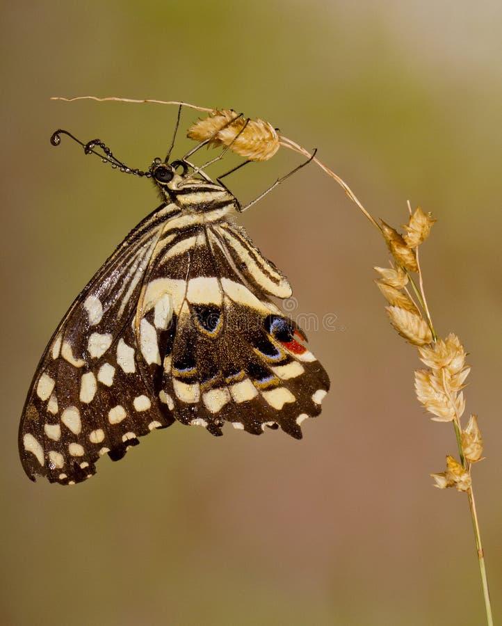 for för växt för fjärilsfallträdgård royaltyfri fotografi