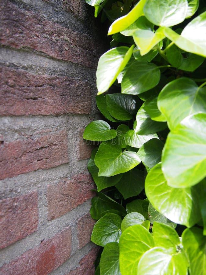 För växter vägg kontra, kampen! arkivbild