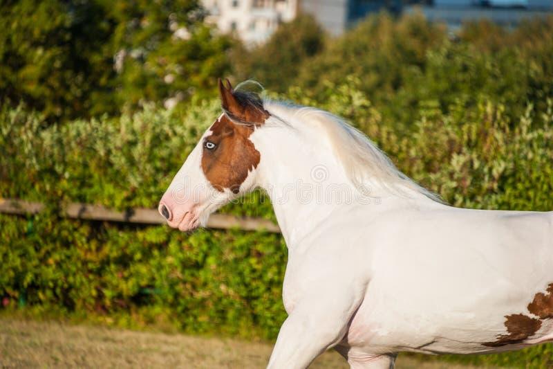 För valshäst för stående vit ung härlig hingst för drumhorse och rött orange ovanligt blått öga som fritt spelar arkivfoton