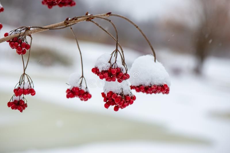för vegetationträd för vinter som torrt frostigt för filialer och för sidor täckas med snö arkivbild