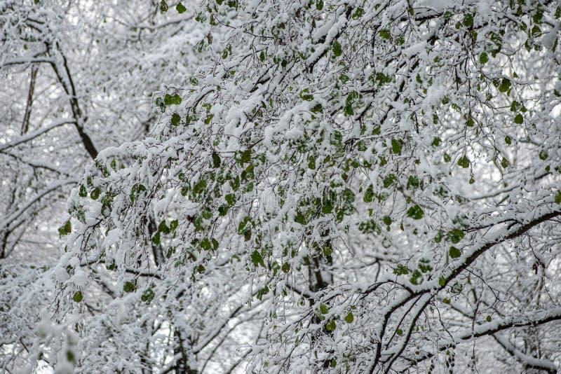 för vegetationträd för vinter som torrt frostigt för filialer och för sidor täckas med snö royaltyfria foton