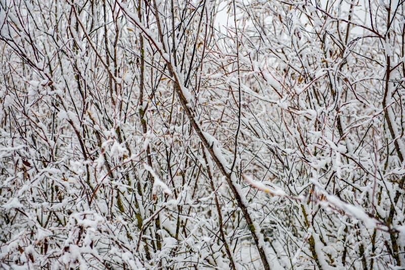 för vegetationträd för vinter som torrt frostigt för filialer och för sidor täckas med snö royaltyfri foto