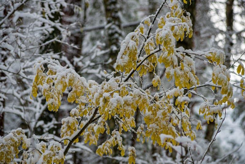 för vegetationträd för vinter som torrt frostigt för filialer och för sidor täckas med snö arkivfoton