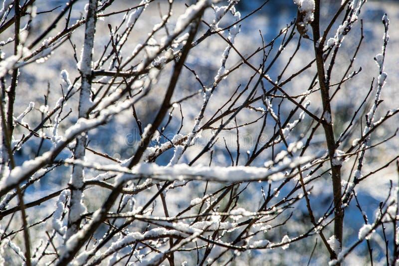 för vegetationträd för vinter som torrt frostigt för filialer och för sidor täckas med snö royaltyfria bilder