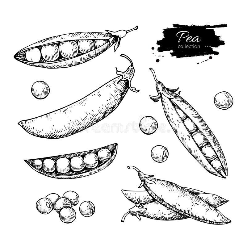 För vektorillustration för ärta hand dragen uppsättning Isolerat grönsak inristat stilobjekt Detaljerad vegetarisk matteckning stock illustrationer
