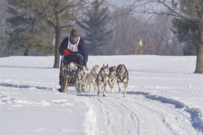 För vinterhund för hund mushing strid för släde royaltyfria bilder